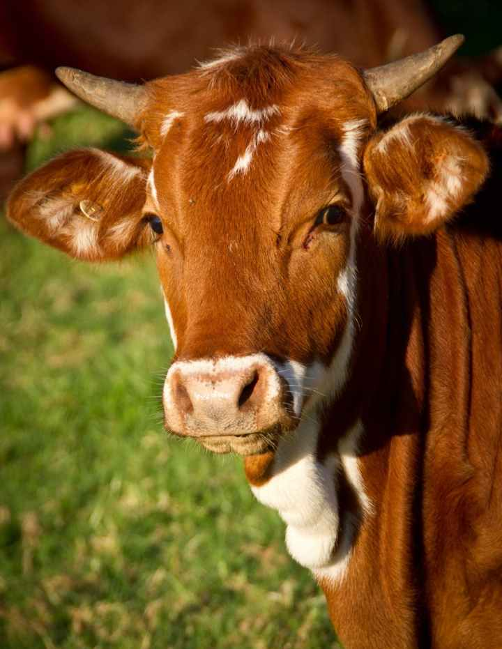 cow-calf-cattle-stock-51311.jpeg
