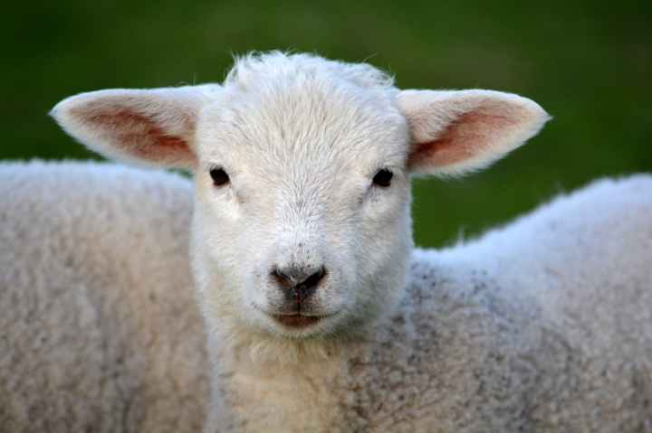 lamb-spring-nature-animal-59821.jpeg