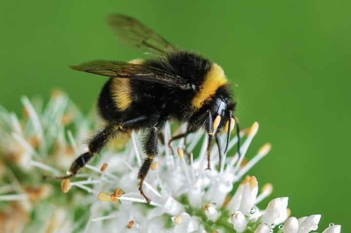 bee-bumblebee-insect-macro.jpg