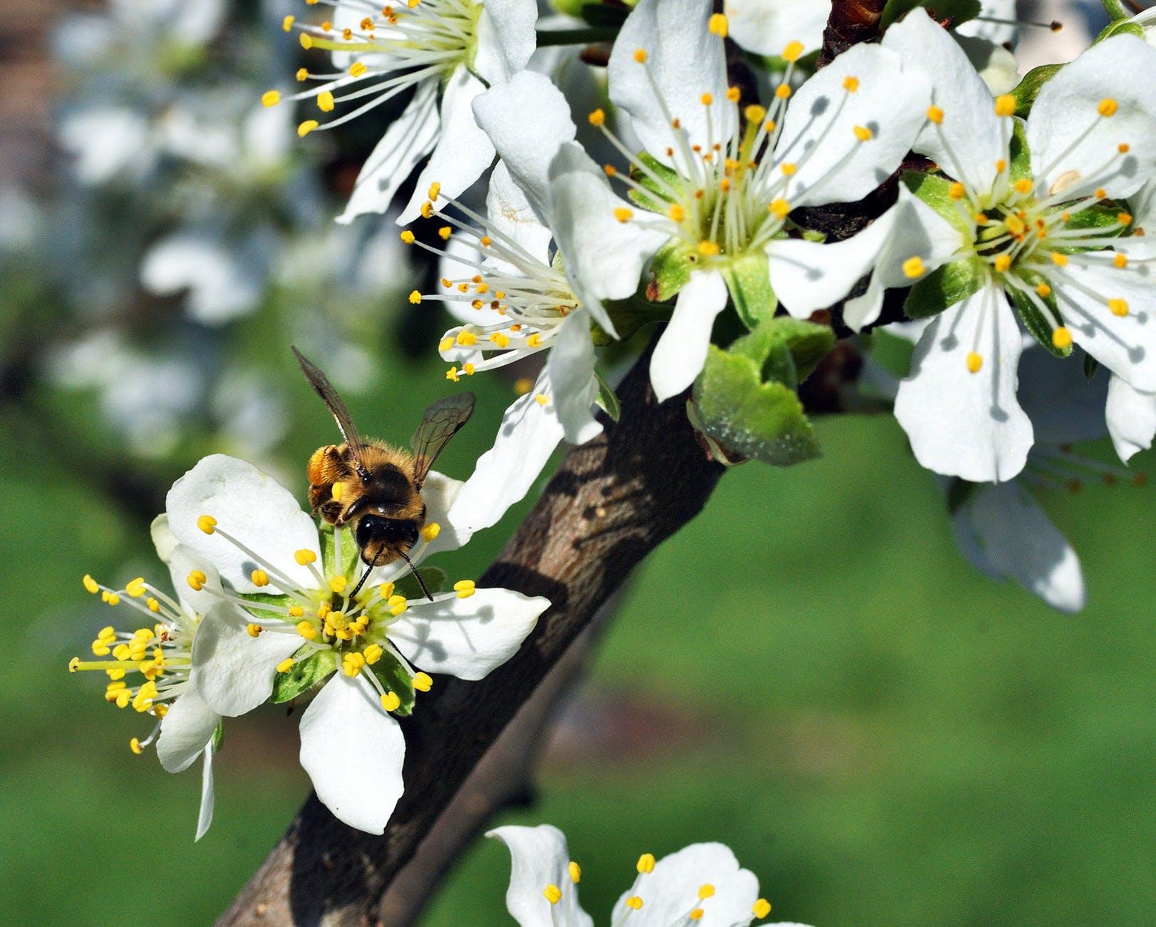 bee-pollination-flower-plum-162623.jpeg