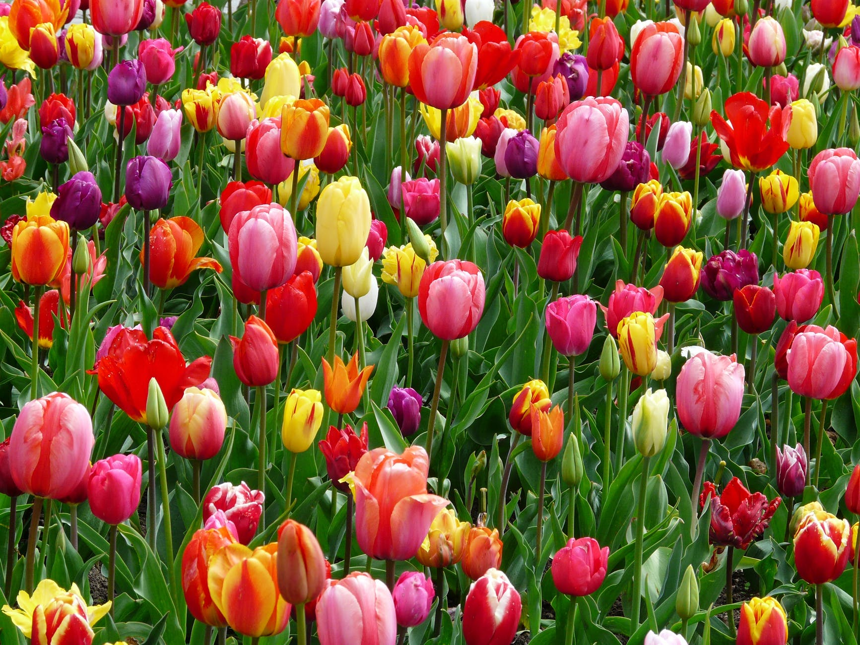 tulips-bed-colorful-color-69776.jpeg